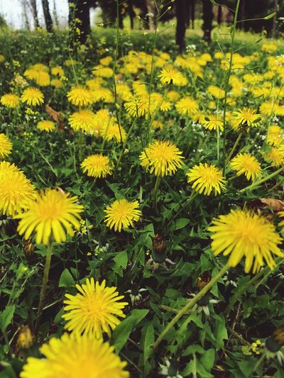 Yellow Flower Flowering Plant Plant Freshness Fragility Beauty In Nature Growth Flower Head Nature Green Color Close-up