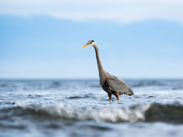 Heron standing in water against sky
