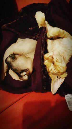 Cat friends. Mr Roux Forest Donskoy Devonrex Sleeping Cat Cuddles