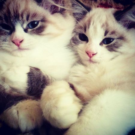 Jasmin,Jeneva Cat мои кошки, питомник невских маскарадных невак на двине Cats
