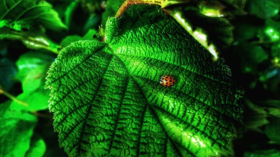 Green Leaf, Fresh And Beautiful Green Green Green!  Ladybirds 🐞 Lady Bug The World Needs More Yellow Hazel Natures Architecture Leafporn Leaf Vein Taking Photos Micro Nature Tiny Planet Colour Palette