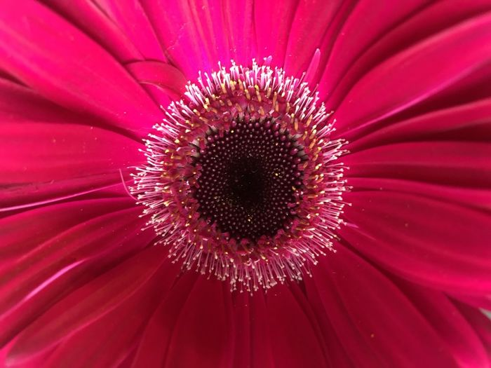 Close-up of red daisy