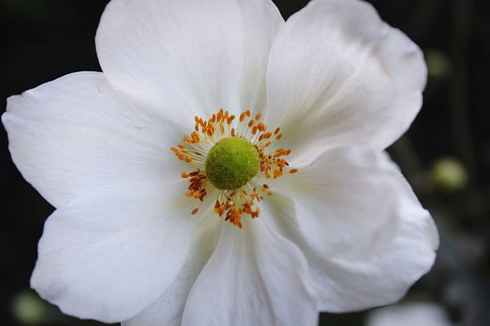 White EyeEm Flower Flower Collection Flowers Flower Head Flower Nature On Your Doorstep Nature Photography Naturelovers From My Point Of View Nature_collection EyeEm Nature Lover Nature Photograhy Nature EyeEm Nature Lovers EyeEm Best Shots Nature_perfection Flowering Plant Flower Fragility Vulnerability  Petal Inflorescence Flower Head Close-up Nature Beauty In Nature White Color