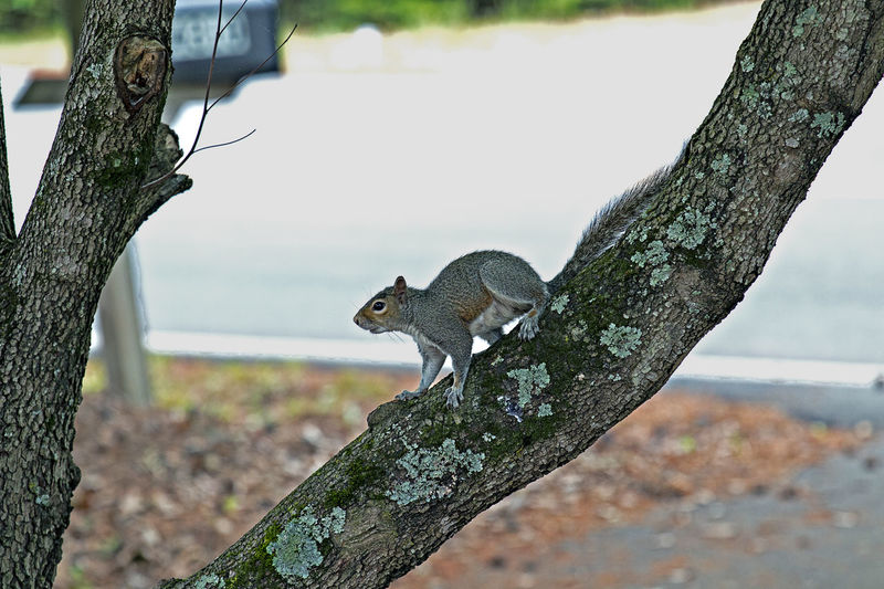 Animal Animal Themes Animal Wildlife Animals In The Wild Branch Day Focus On Foreground Mammal Nature No People One Animal Outdoors Plant Rodent Side View Squirrel Tree Tree Trunk Trunk Vertebrate