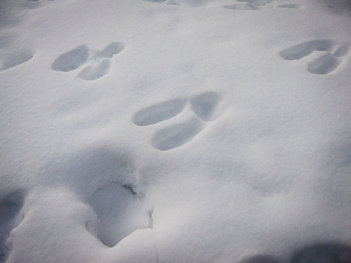 animal trails Animal Themes Animal Track Animal Tracks Animals In The Wild Canada Close-up Cold Temperature Day Field Frozen High Angle View Nature No People Outdoors Paw Print Snow Weather White Color Wilderness Wilderness Adventure Wilderness Area Winter