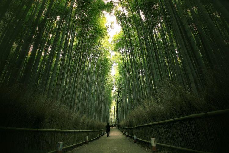 Walkway amidst bamboos at park