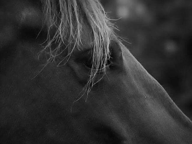 Blackandwhite Horse Horse Eye