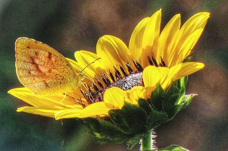 SUNFLOWERS Lolol Streamzoofamily Macroclique Everyday Joy EyeEm Best Shots - Flowers