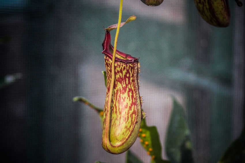 Animal Themes Close-up Cocoon Day Flower Focus On Foreground Hanging Insect Nature No People Outdoors Plant Pitcher Plant Nephentes