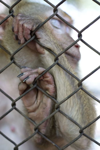 Monkey in the cage Monkey's Feet Animal Animal Themes Animal Wildlife Animals In Captivity Barrier Boundary Cage Chainlink Fence Close-up Day Fence Focus On Foreground Mammal Metal Monkey Monkey's Hand No People One Animal Outdoors Primate Trapped Vertebrate Zoo