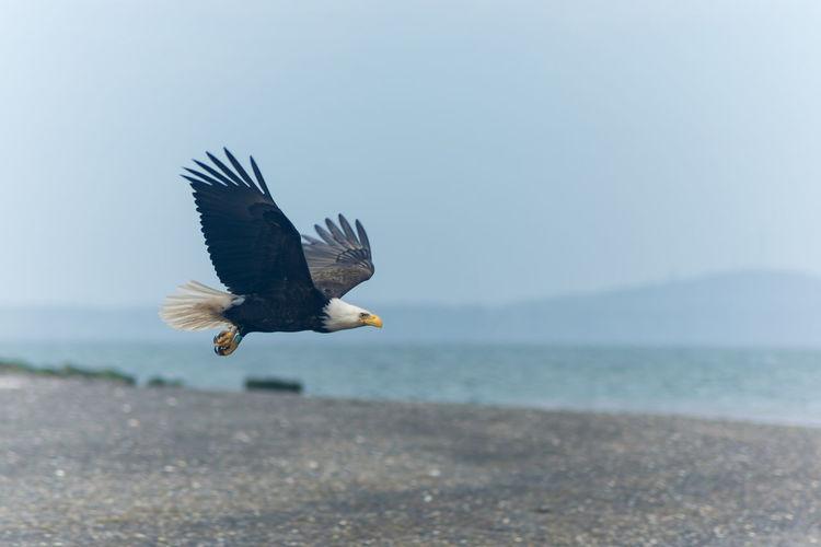 Bald eagle flying at beach against sky