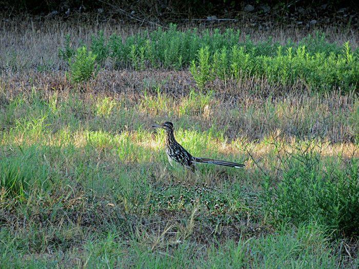 Roadrunner Roadrunner Green Bird Field Animal Themes Grass Green Color Greenery Grassland Countryside