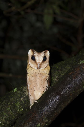 Sri Lanka bay owl, Valaparai, Tamilnadu, India. Sri Lanka Bay Owl Valaparai Tamilnadu India Bird Owl Animal White Bay Nature Wild Cute Barn Beautiful Predator Eye Nocturnal Wildlife Alba Brown Beak Night Thailand HEAD Eyes Watching Feather  Garden Baby Pole Common Burn Lovely Badius Asian  Oriental Phodilus Cage Green Buffy Potter Tree BIG Model Bay Owl Little Yellow Ray Black Wisdom