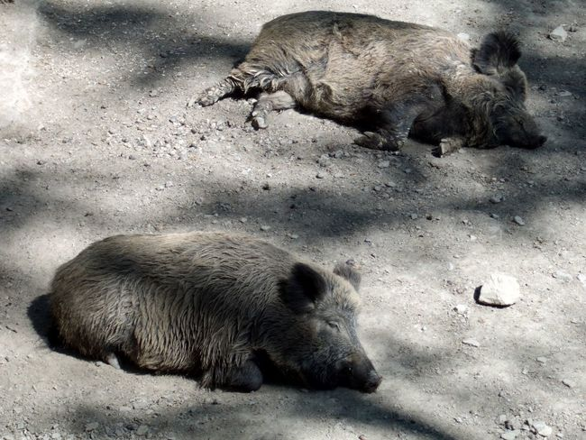 Wild boars Animal Animal Behavior Animal Themes Animals Boar Boars Couple Eber Lazy Lazy Day Mammal No People Outdoors Pig Pigs Relax Relaxing Relaxing Moments Shadow Shadows Tiere Wild Boar Wild Boars Wildschwein Wildschweine