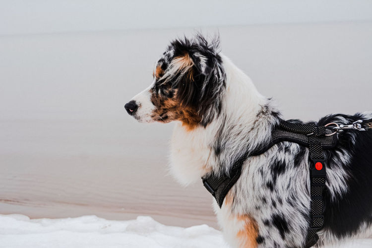 Dog looking away on the beach in winter
