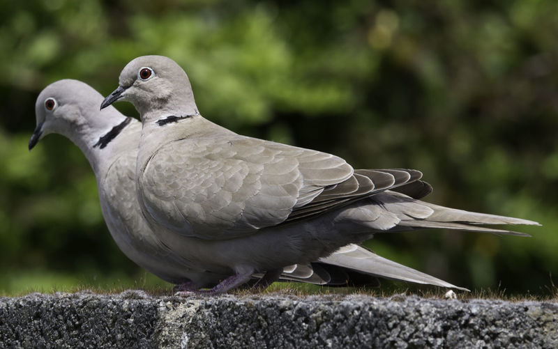 Two pigeons on