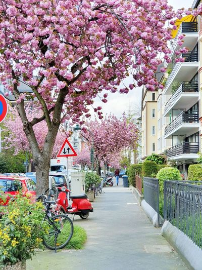 pink blossoms Outdoors EyeEm Best Shots Love Pink Buds Alley Modern Pavement House Pink Flowers Morning Buildings Tree Flower City Branch Springtime Land Vehicle Pink Color Blossom Architecture Building Exterior Flower Tree Cherry Tree Wisteria Bicycle Rack Parking Scooter Pink Cherry Blossom In Bloom