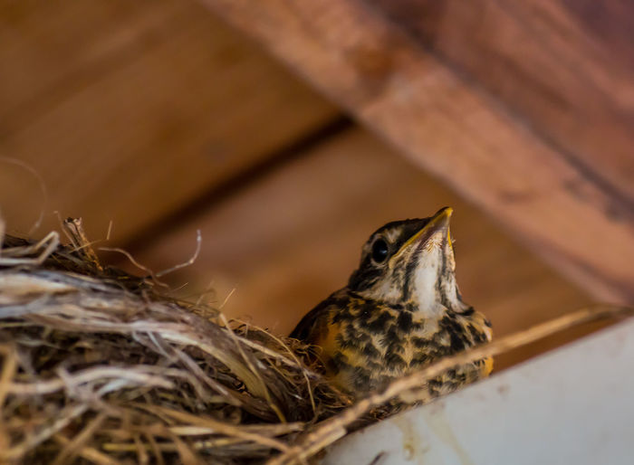 Animal Body Part Animal Head  Baby Bird Baby Robin Close-up Day First Flight Focus On Foreground Leaving The Nest Looking Up Nature Nature On Your Doorstep Nest New Life No People Rafters Robin Robin Redbreast Selective Focus Showcase June The Great Outdoors - 2016 EyeEm Awards The Week On EyeEm Young Young Animal Young Robin