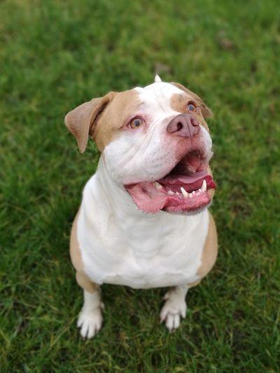 Dog Pets Grass Domestic Animals English Bulldog Bulldog One Animal