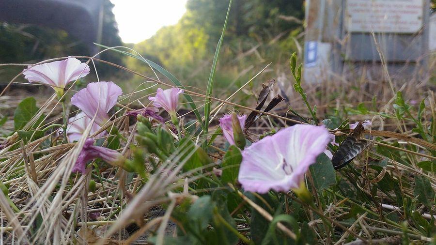 Flower Flower Head Crocus Pink Color Close-up Grass
