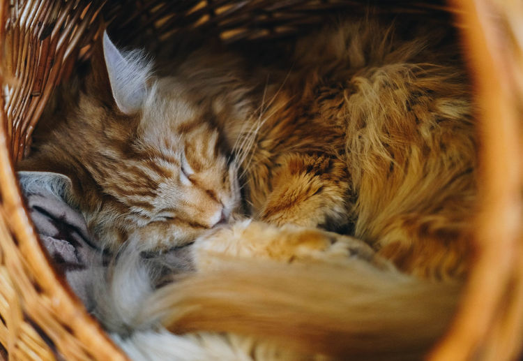 Cat Domestic Cat Feline Pets Domestic One Animal Animal Themes Domestic Animals Relaxation Mammal Animal Vertebrate Sleeping Selective Focus No People Indoors  Close-up Resting Eyes Closed  Whisker Napping