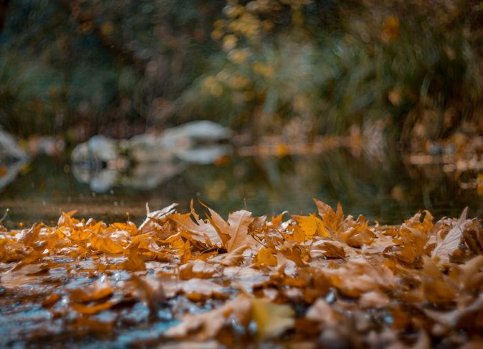 Close-Up Of Maple Leaves On Lake During Autumn