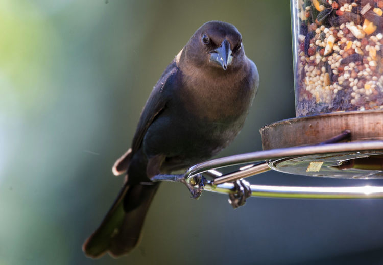 Food time Bird Feeders Animal Wildlife Animals In The Wild Bird Bird Feeder Bird Seed Branch Close-up Cowbird Focus On Foreground Full Length Metal Nature One Animal Outdoors Perching Selective Focus