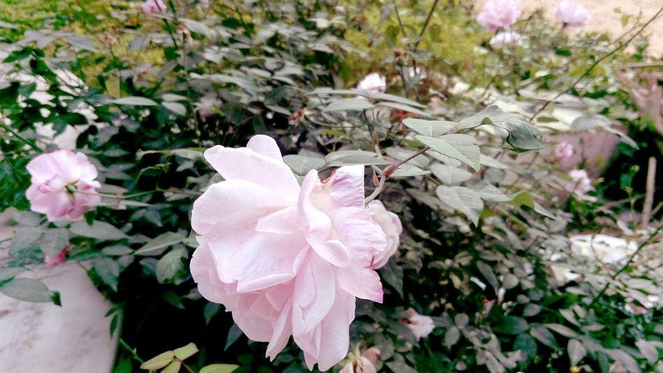 Flower Pink Leaves🌿 Petal Beauty In Nature Growth Fragility Nature Close-up Blooming Outdoors Freshness Mobile Photography Sharp Photos Best EyeEm Shot SSClickpix SSClickPics SSClicks