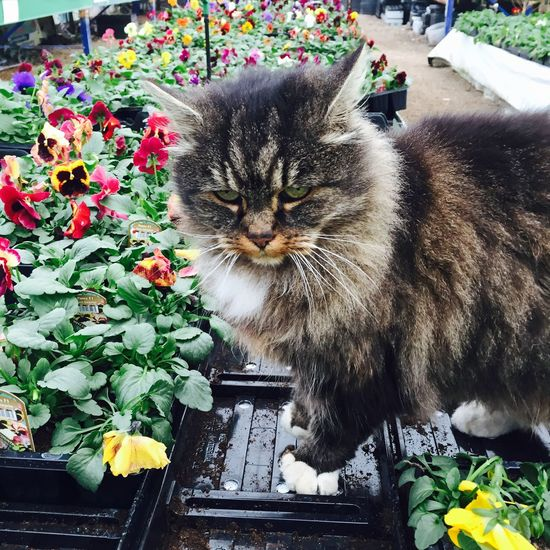 Cat on table amongst the plants Cat Domestic Cat Feline Flower Domestic Animals Plant Pets Mammal Animal Themes One Animal Nature Whisker Growth No People Day Outdoors Winter Pansies Pansies Nursery Garden Centre