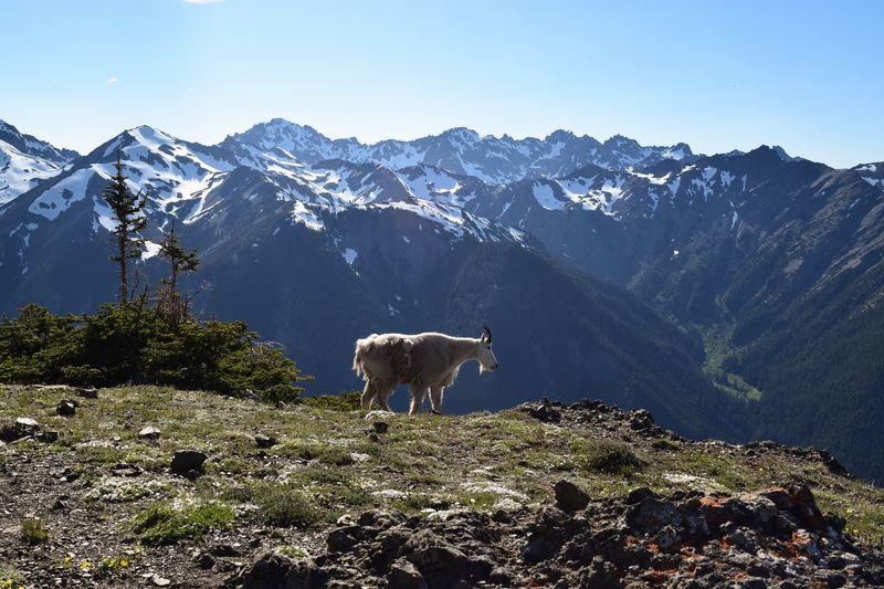 Mountain goat on peak against clear sky