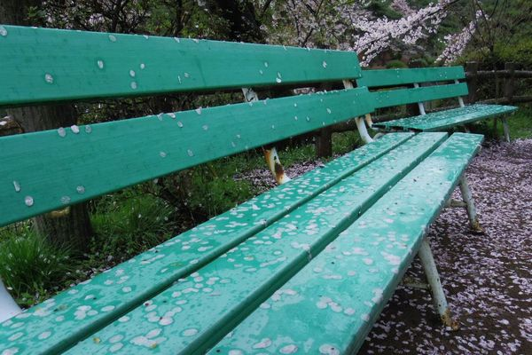 Sakura Sakura2015 Spring Report Flowers Bench Japan Photography Pentax PENTAX Q Everyday PENTAX Landscape