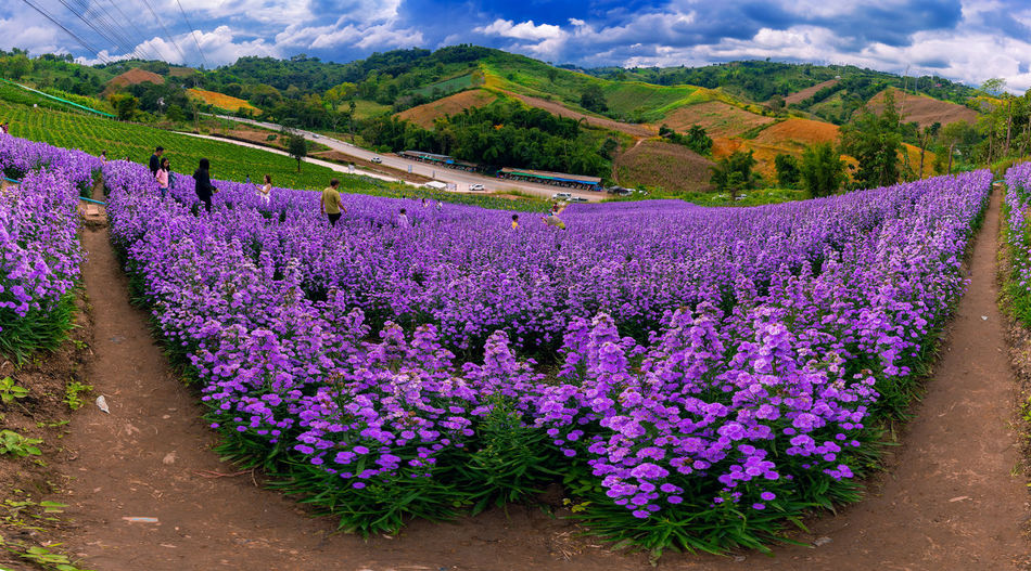 Purple flowering plants in field