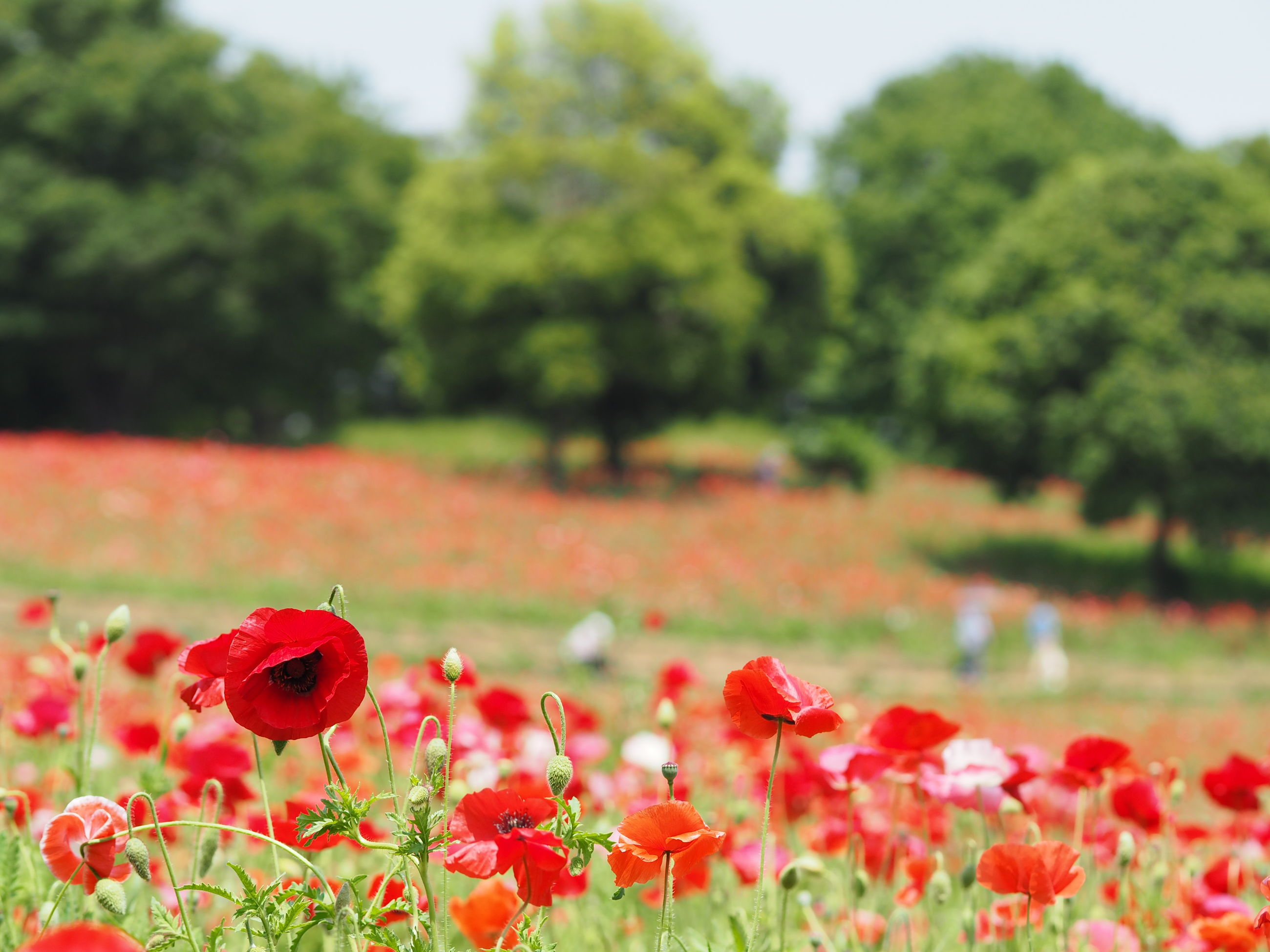 flower, freshness, growth, fragility, beauty in nature, blooming, petal, field, nature, focus on foreground, plant, flower head, in bloom, red, landscape, tranquil scene, tranquility, blossom, tree, springtime