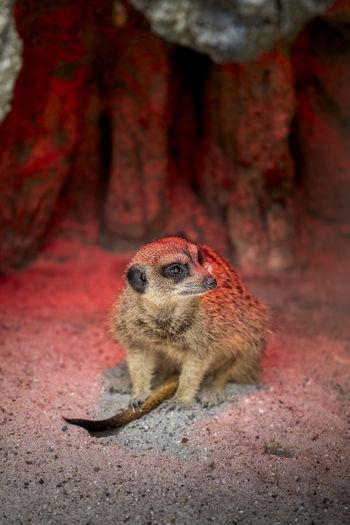 Meerkat sits under a warming lamp