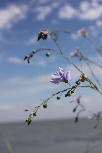 Wild Len. Karpovsky estuary. Flower Flowering Plant Plant Beauty In Nature Growth Fragility Vulnerability  Freshness Close-up Focus On Foreground Sky Nature Petal No People Selective Focus Day Flower Head Inflorescence Bud Twig Outdoors Springtime Purple
