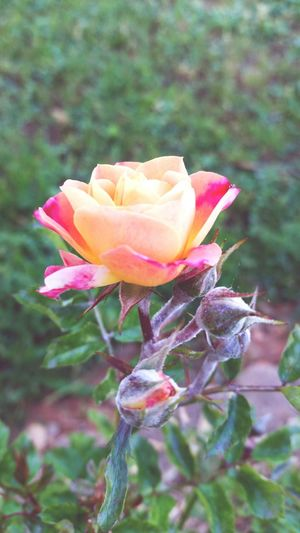 Floral Perfection Flower Photography Spring Art Flower Ancphotography & Art Early Morning Peach Rose Roses