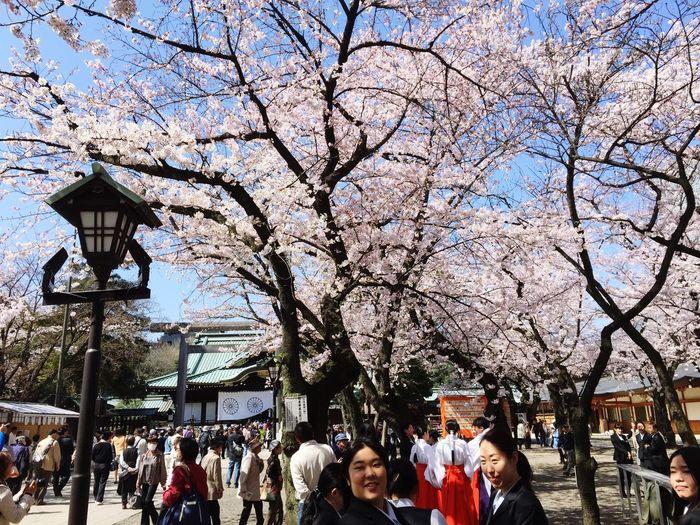 桜満開 千鳥ヶ淵 東京 Enjoying Life 桜 靖國神社 北の国公園 武道館