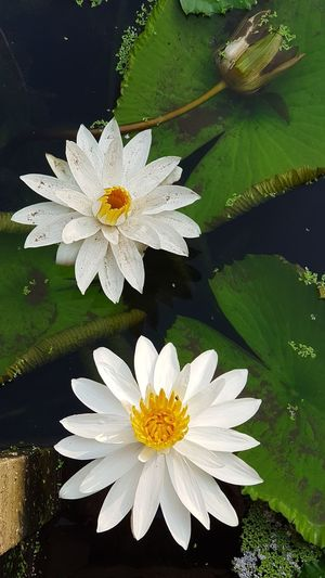 Lotus Flower Lotus Flowers Flower Petal Flower Head Fragility Beauty In Nature Freshness Nature Floating On Water No People Day Lotus Water Lily Close-up Plant Outdoors Growth Water Lily