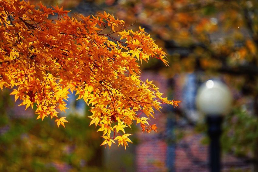 Autumn Leaf Change Focus On Foreground Nature Outdoors Day Beauty In Nature Tree Maple Leaf No People Growth Branch Close-up Maple Japanese Maple