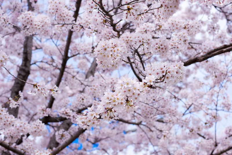 Cherry blossoms Blooming Blossom Cherry Blossoms Cherry Trees Korea Nature Pink Color Spring Spring Flowers Spring Has Arrived