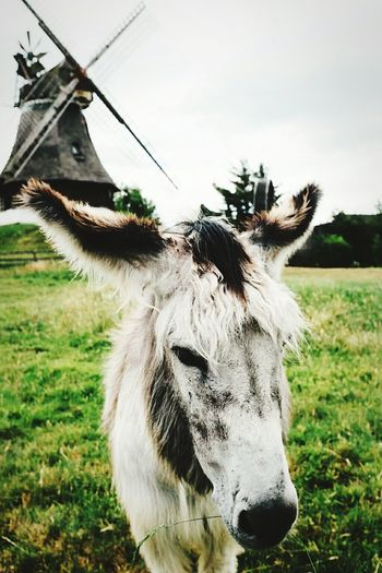 Cute donkey Donkey Windmill Open Air Museum Gifhorn
