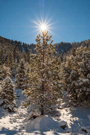 ⭐️ Cold Temperature Snow Winter Tree Plant Sky Nature Clear Sky Scenics - Nature Frozen Tranquil Scene Tranquility Land Coniferous Tree Sunlight Day Sun Beauty In Nature No People Pine Tree