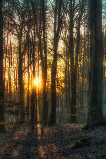 Trees in forest during sunset
