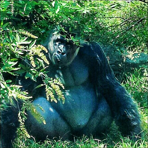 Gorilla at the Birmingham Zoo. Animals Zoo Gorilla Nature