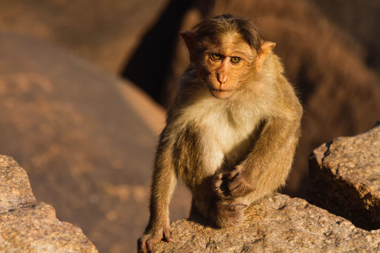 Portrait Of Monkey On Rock