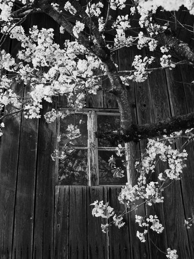 blossoms on a tree in front an old window in a barn near Rosenheim, Bavaria, Germany Bavaria Farm Bar Beauty In Nature Blackandwhite Blossom Building Exterior Built Structure Close-up Day Flower Flower Head Fragility Freshness Growth Hanging Nature No People Outdoors Plant Tree Window