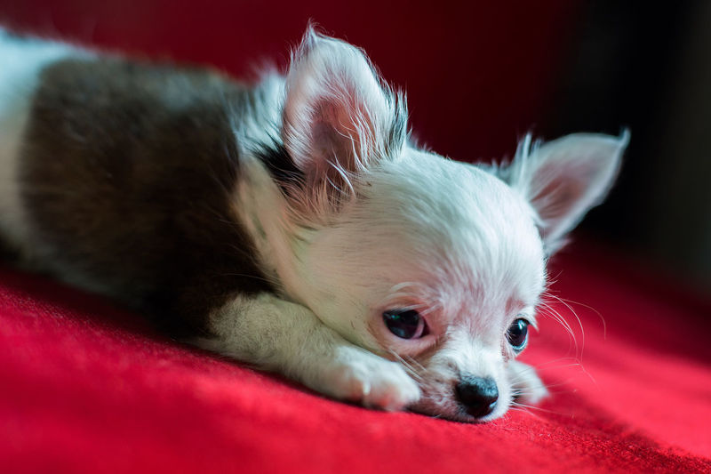 Animal Animal Body Part Animal Head  Animal Themes Canine Chichuahua Chihuahua - Dog Close-up Dog Domestic Domestic Animals Focus On Foreground Indoors  Lying Down Mammal No People One Animal Pets Pomeranian Red Relaxation Small Studio Photography Vertebrate Whisker