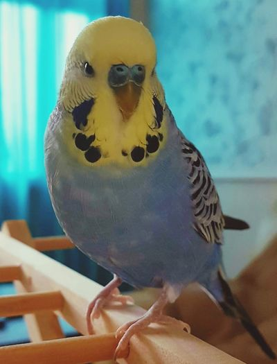 Gibsy Bird Budgerigar One Animal Animal Themes Close-up Perching No People Indoors  Budgielover Budgies Budgielove Budgie Collection Pets Of Eyeem Looking At Camera Beauty In Nature Beautiful Animals  Beautiful Pets