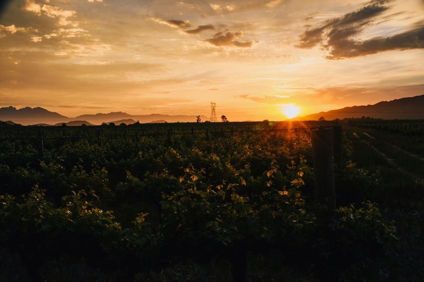 Sun kissed vines Sunset Nature Sun Tranquil Scene Sky Beauty In Nature Growth Scenics Landscape Tranquility Silhouette Field No People Plant Cloud - Sky Mountain Outdoors Sunrise Wine Farm South Africa Nikonphotography Wine Vineyard Orange Color Be. Ready.