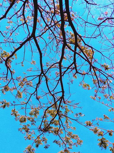 Tree Flower Branch Blue Backgrounds Clear Sky Full Frame Sky Close-up Blossom Cherry Blossom Cherry Tree Pistil Focus Spring Directly Below Flower Head Blue Color Fruit Tree